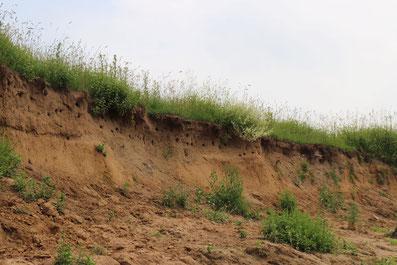 Steile Sandbank mit Nestern von Uferschwalben