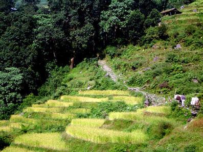 Reisfelder unterwegs im Marsyangdi Tal, Foto: © Klaus Hessenauer