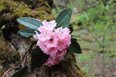 Rhododendronblüte in Nepal