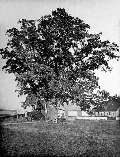 Schlosseiche um 1900, Friedrich Stützer