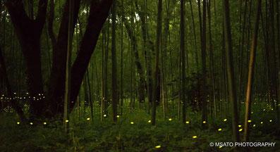 #Gifu_city #Gifu_prefecture #Japan #hotaru #firefly #vagalume #Hime_firefly