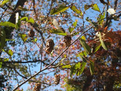 イヌシデ ホーンビームの近縁種