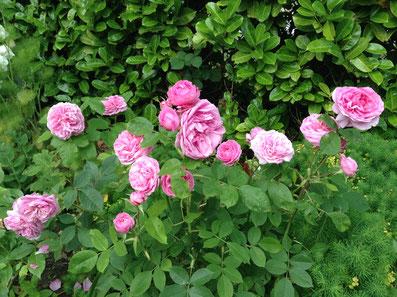 Rosier Anglais Gertrude Jekyll précoce et parfumé David Austin