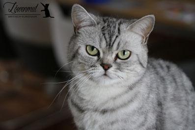 Katzen von Löwenmut - Britisch Kurzhaar