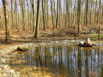 Ein Weiher mitten im Wald von Rheinfelden. Hier lebt eine grosse Population Grasfrösche.
