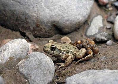 Geburtshelferkröte oder Glögglifrosch in Rheinfelden nahe Leichgebiet ausgestorben