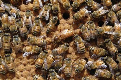 Une reine avec des abeilles ouvrières sur un cadre de couvain