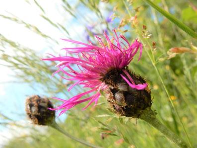 Punky-Blume