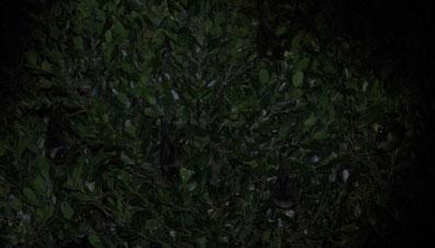 オイリオオコウモリ