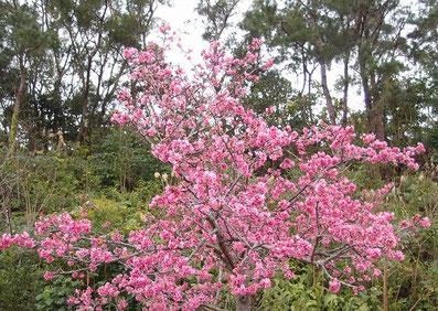 良く咲いていた桜 まつり当日 2020/01/18