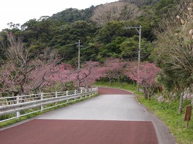 桜の開花(道すがら) まつり当日 2020/01/18