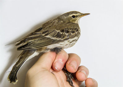 Water Pipit Project