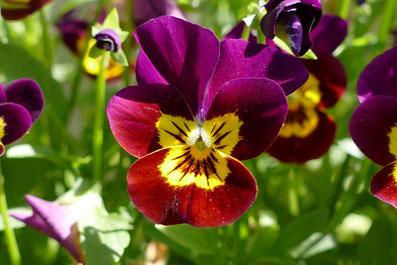 Blumen-Rose | Hornveilchen