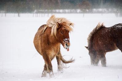 Pferdekalender, Islandpferde, schöne Zitate, Sprüche, Pferde, Kalender