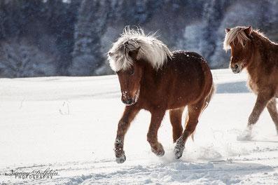 Pferdekalender, Islandpferde, schöne Zitate, Sprüche, Pferde, Kalender, Islandpferde