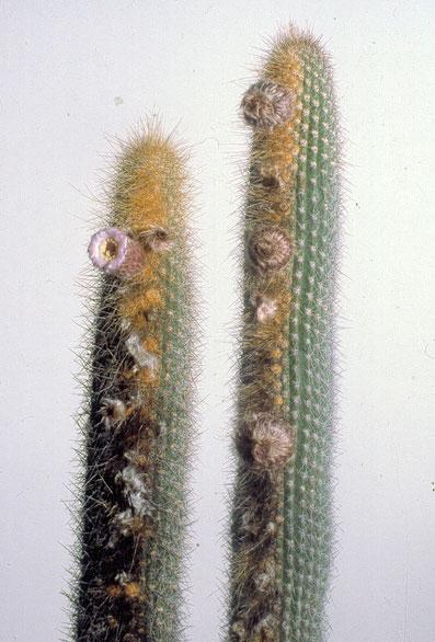 Facheiroa estevesii, Holotypaufsammlung / plants of holotype collection / plantas da coleção de holótipo