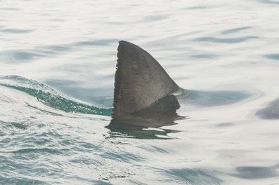 Haitauchen, Käfigtauchen Gansbaai Südafrika