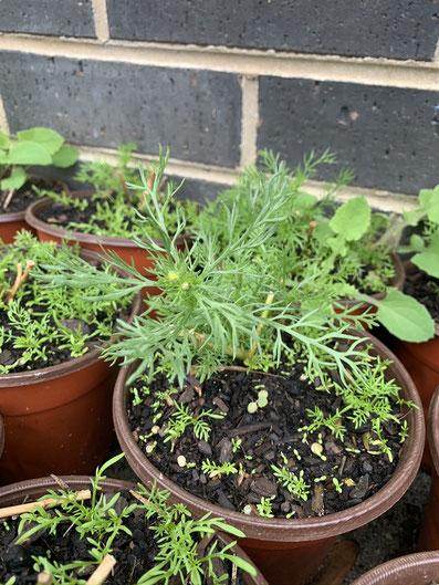 self-seeding in a pot