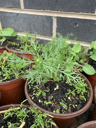 Chamomile self-seeding in a pot