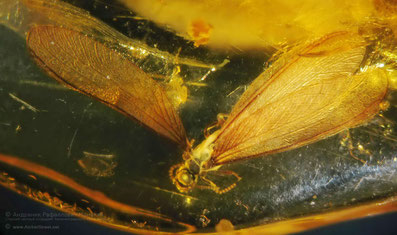 Inclusion in amber:  Isoptera