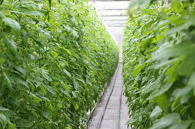 トマト養液栽培・ハウス施設内トマト