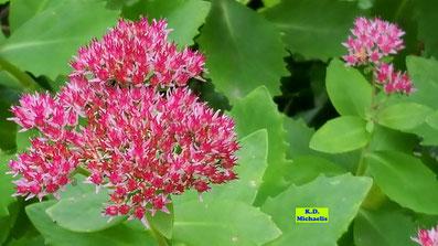 Nahaufnahme der dunkelrosa Blütenstände der Fetthenne oder des Sedums/Mauerpfeffers mit hübschen, gezackten, fleischigen Blättern von K.D. Michaelis
