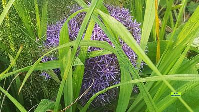 Riesige, violette Blütenkugel eines Riesen-Alliums zwischen langen Gräsern. Bild K.D. Michaelis