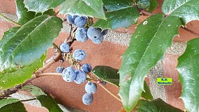 Gewöhnliche oder Stechdornblättrige Mahonie mit ihren blauen Beeren von K.D. Michaelis