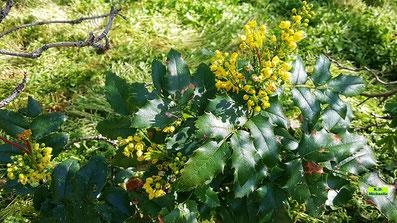 Leuchtendgelb blühende Mahonie im Halbschatten unter einem Baum von K.D. Michaelis