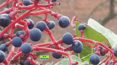 Nahaufnahme der blauschwarzen Beeren eines Wilden Weins nebst den roten Stängeln von K.D. Michaelis