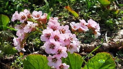 Immergrüne Blätter und hellrosa Blütenkelche mit dunklem Auge - die Bergenie von K.D. Michaelis