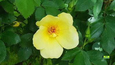 Nahaufnahme der Blüte einer gelben Wildrose mit Staubgefässen und grünem Blattwerk von K.D. Michaelis