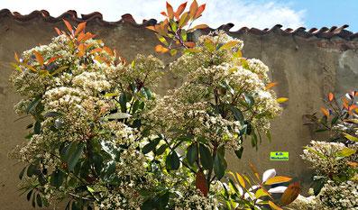 Weiße Blütendolden mit noch geschlossenen Knospen und bereits geöffneten Einzelblüten einer Glanzmispel von K.D. Michaelis
