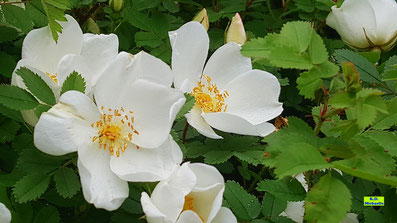 Nahaufnahme der Blüten einer weißen Wildrose mit Staubgefässen und grünem Blattwerk von K.D. Michaelis