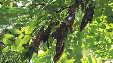 Büschelweise braune, teilweise schon geöffnete Samenschoten der Robinie / Scheinakazie / Falschen Akazie im Sonnenschein vor leuchtendgrünem Laub von K.D. Michaelis