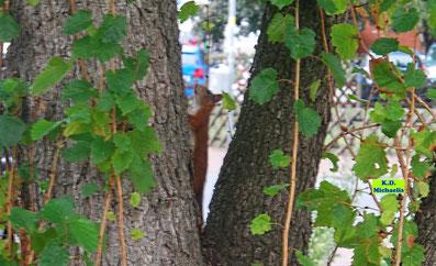 Eichhörnchen beim Aufstieg in einen Haselnussbaum von K.D. Michaelis