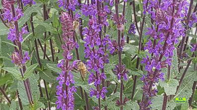 Nahaufnahme der violetten Blüten des Steppensalbei / Hainsalbei / Ziersalbei / Salvia nemorosa inklusive 2 Bienen von K.D. Michaelis