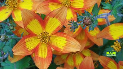 Nahaufnahme gelb-rotoranger Blüten und Knospen einer Goldmarie / Bidens / Goldzweizahn / Zweizahn von K.D. Michaelis