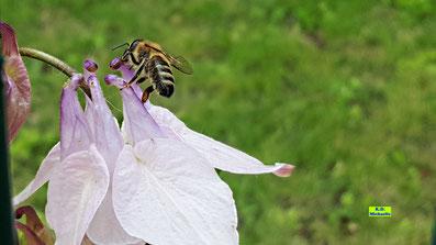 Nahaufnahme einer Biene, die Nektar an einer helllilafarbenen Akeleien-Blüte trinkt von K.D. Michaelis