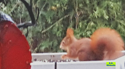 Einer unserer Gartenkobolde (Eichhörnchen) an der Futterstelle auf meinem Balkon von K.D. Michaelis