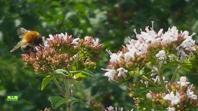 Hummel auf den rosa-weißen Blüten des Oregano von K.D. Michaelis