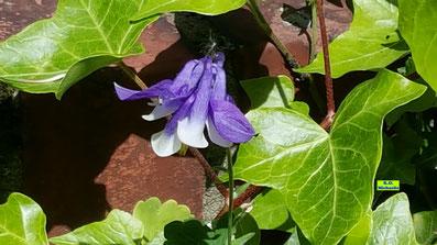 Akelei mit weiß-lila Blüte im Sonnenschein von K.D. Michaelis