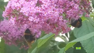 2 Erdhummeln trinken Nektar an einer rosafarbenen Sommerflieder-Blüte von K.D. Michaelis