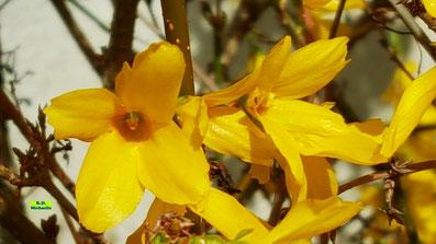 Nahaufnahme der gelben Einzelblüten einer Gartenforsythie. Aufgenommen am 12. April 2021 von K.D. Michaelis