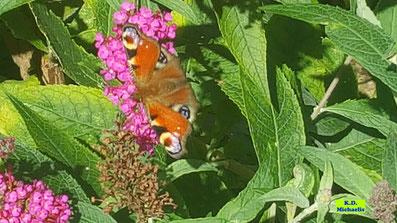 Schmetterling Tagpfauenauge auf einer pinken Rispenblüte eines Schmetterlingsflieders / Schmetterlingsstrauches / Fliederspeers von K.D. Michaelis