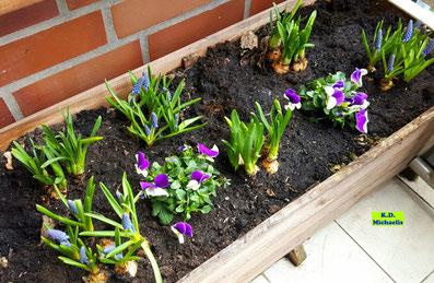 Mein Frühlings-Beet mit Frühblühern (Mini-Narzissen, Traubenhyazinthen und Hornveilchen auf dem Balkon von K.D. Michaelis