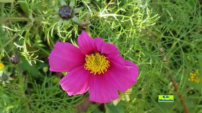 Nahaufnahme einer Cosmea-/Schmuckkörbchen-Blüte in dunklem Pink von K.D. Michaelis
