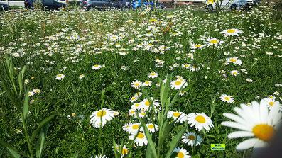 Wildblumenwiese vor der Ev.-Luth. Auferstehungskirche Hannover-Döhren. Bild K.D. Michaelis