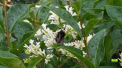 Erdhummel-Königin bei der Nahrungsaufnahme auf weißen Ligusterblüten kurz nach einem Regenschauer von K.D. Michaelis