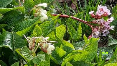 Links: Rot-weiße, traubenförmig angeordnete Blüten nebst den grünen Blättern des Beinwell (Symphytum) / Wallwurz / Beinwurz. Rechts die rosa Blüten einer Bergenie in der Frühlingssonne von Hannover von K.D. Michaelis